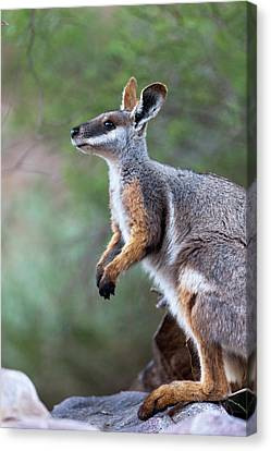 Yellow-footed Rock-wallaby (petrogale Canvas Print by Martin Zwick