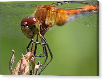 Yellow-legged Meadowhawk Dragonfly Canvas Print by Juergen Roth