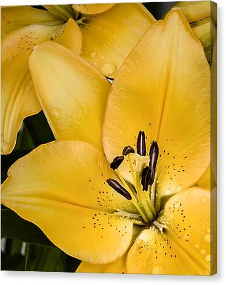 Yellow Lily Canvas Print by Scott Norris