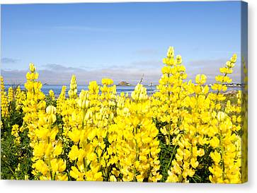 Yellow Lupines In A Field, Del Norte Canvas Print by Panoramic Images