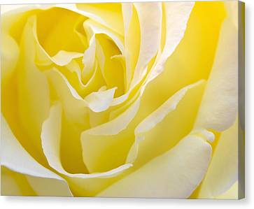 Yellow Rose Canvas Print by Svetlana Sewell