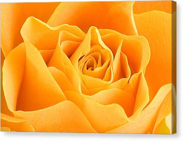 Yellow Rose Canvas Print by Tilen Hrovatic