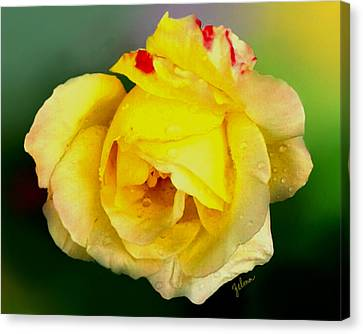 Yellow Rose Canvas Print by Zelma Hensel