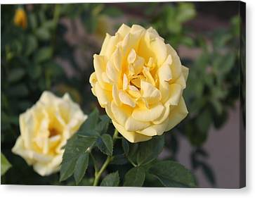 Yellow Roses Canvas Print by Valerie Broesch