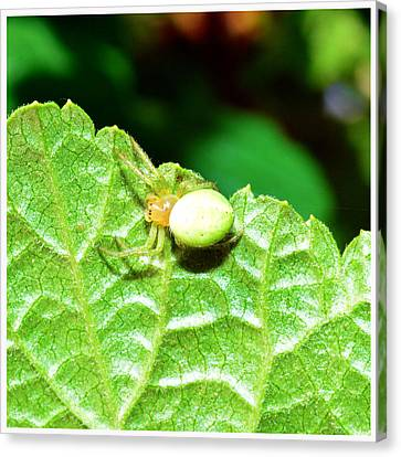 Yellow Spider  Canvas Print by Toppart Sweden