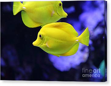 Yellow Tang Tropical Fish 5d24880 Canvas Print by Wingsdomain Art and Photography