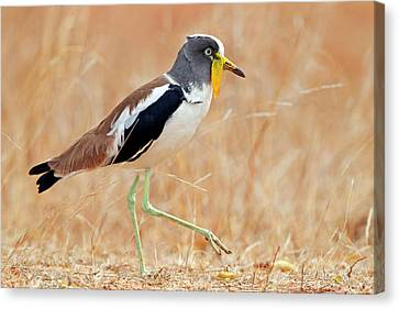Yellow-wattled Lapwing Canvas Print by Bildagentur-online/mcphoto-schaef