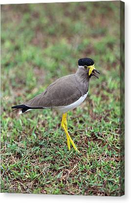 Yellow-wattled Lapwing Canvas Print by Peter J. Raymond