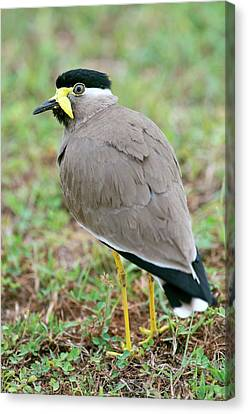 Yellow Wattled Lapwing Canvas Print by Tony Camacho