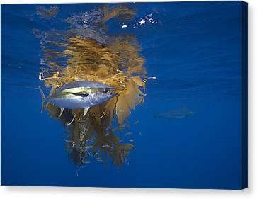 Yellowfin Tuna And Kelp Nine-mile Bank Canvas Print by Richard Herrmann