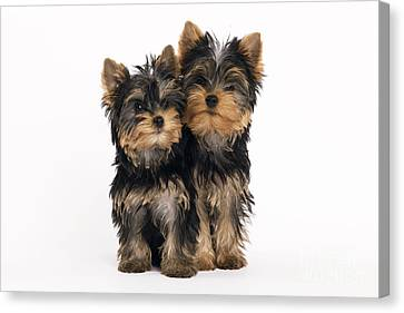 Yorkie Puppies Canvas Print by Jean-Michel Labat