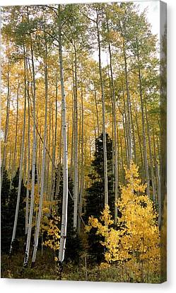 Young Aspens Canvas Print by Eric Glaser
