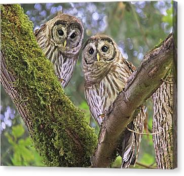 Young Barred Owlets  Canvas Print by Jennie Marie Schell