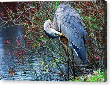 Young Blue Heron Preening Canvas Print by Paul Ward