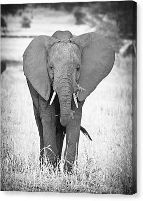 Young Bull Elephant Canvas Print by Adam Romanowicz