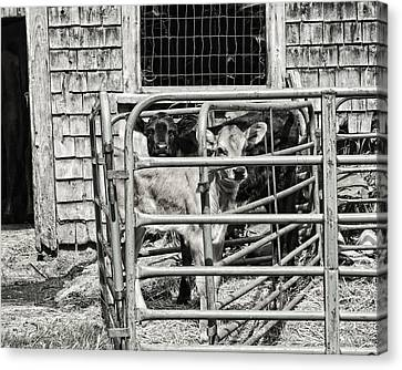 Young Cows In Pen Near Barn Maine Photograph Canvas Print by Keith Webber Jr