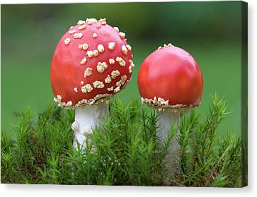 Young Fly Agaric Fungus Canvas Print by Nigel Downer