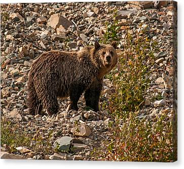 Young Grizzly Bear In Glacier National Park Canvas Print by Brenda Jacobs