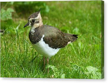 Young Lapwing Canvas Print by Helmut Pieper