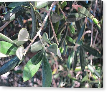 Young Olives Canvas Print by Pema Hou