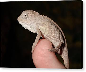 Young Panther Chameleon On A Branch Canvas Print by Nigel Downer