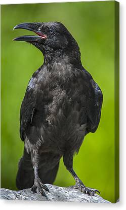 Young Raven Canvas Print by Tim Grams