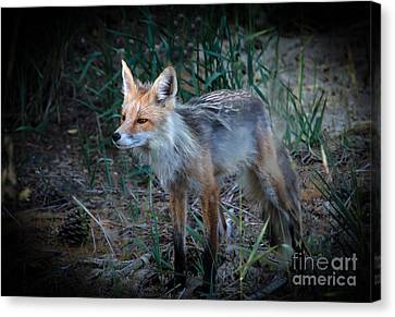 Young Red Fox Canvas Print by Robert Bales