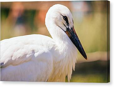 Young Stork Portrait Canvas Print by Pati Photography
