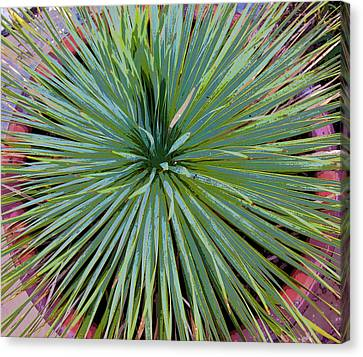 Yucca 2 Canvas Print by Frank Tozier