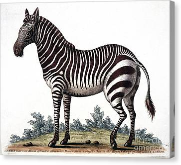 Zebra, 18th Century Canvas Print by Natural History Museum, London