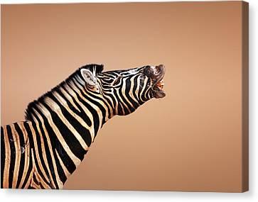 Zebra Calling Canvas Print by Johan Swanepoel