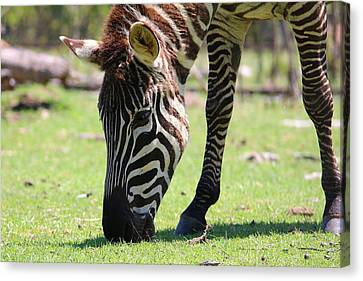 Zebra Canvas Print by Ester  Rogers