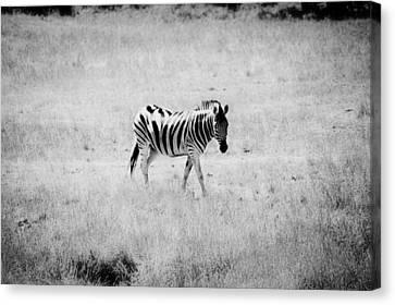 Zebra Explorer Canvas Print by Melanie Lankford Photography