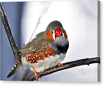 Zebra Finch Canvas Print by Elena Elisseeva
