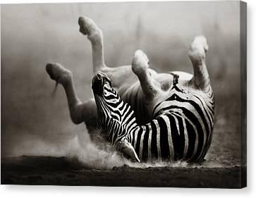 Zebra Rolling Canvas Print by Johan Swanepoel