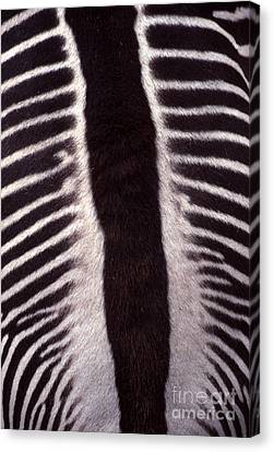Zebra Stripes Closeup Canvas Print by Anna Lisa Yoder