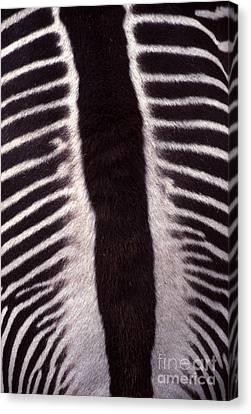 Zebra Stripes Closeup Canvas Print by Anna Lisa Yoder