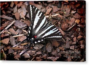 Zebra Swallowtail Butterfly Canvas Print by Karen Adams