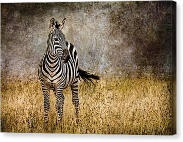 Zebra Tail Flick Canvas Print by Mike Gaudaur