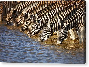 Zebras Drinking Canvas Print by Johan Swanepoel