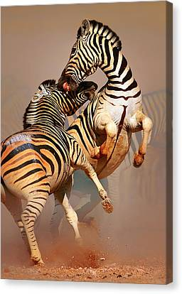 Zebras Fighting Canvas Print by Johan Swanepoel