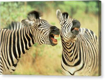 Zimbabwe Two Zebras In A Dispute Credit Canvas Print by Jaynes Gallery