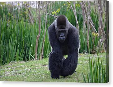 Zootography Of Male Silverback Western Lowland Gorilla On The Prowl Canvas Print by Jeff at JSJ Photography