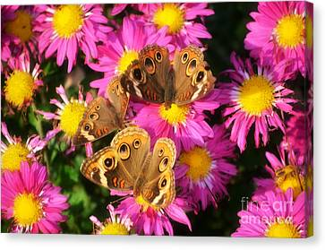 3 Beauty's Butterflies On Mum Flowers Canvas Print by Peggy  Franz