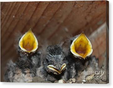 Raising Baby Birds  Www.pictat.ro Canvas Print by Preda Bianca Angelica