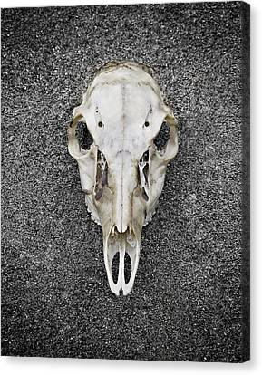 0710-0099 Deer Skull On The Buffalo River Canvas Print by Randy Forrester