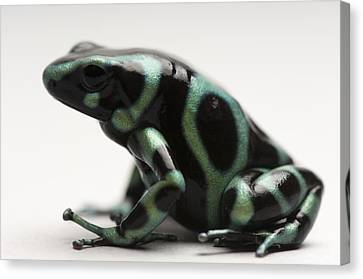 A Green-and-black Poison Dart Frog Canvas Print by Joel Sartore