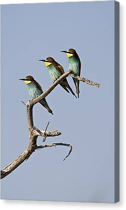 A Group Of Bee-eaters Resting On Branch Canvas Print by Roy Toft