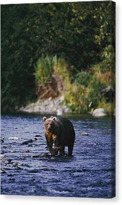 A Kodiak Brown Bear Ursus Middendorfii Canvas Print by George F. Mobley