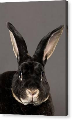 A Rex Rabbit Oryctolagus Cuniculus Rex Canvas Print by Joel Sartore